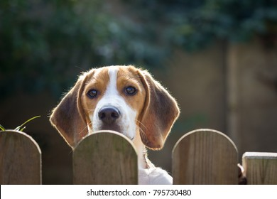 young beagle (17 weeks) looks over the garden fence