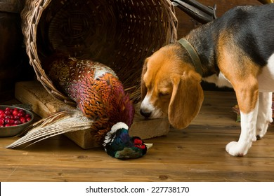 Young beagle dog smelling a dead pheasant after a hunting day