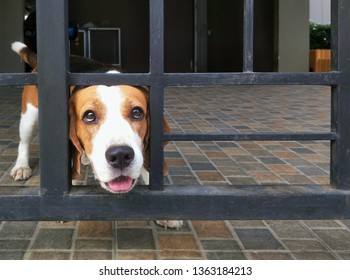 Young beagle dog's face pass through sliding door frame in action of house guard (watchdog) gesture when owner and nobody at home, focus on beagle and blurred background