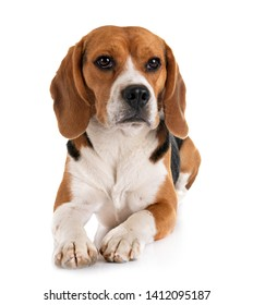 young beagle in front of white background