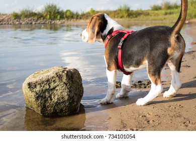 Young Beagle Looking Out at Water (11 weeks)