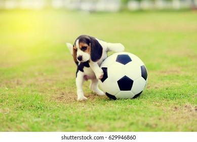 Young Beagle playing football