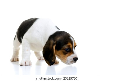 Young beagle puppy sniffing. Isolated on white with a reflective shadow.