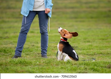 Young beagle sit all ears against owner legs. Large funny ears stick up, dog listening and watching for woman order