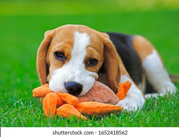 Young beaglelying on the green grass chewing an orange toy