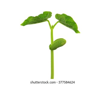 Young bean plant in soil