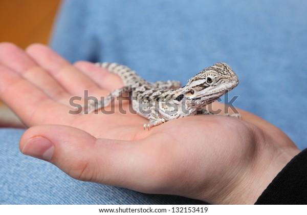 Young bearded dragon lizard in human hand