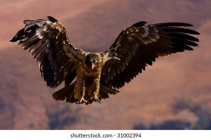 young bearded vulture landing