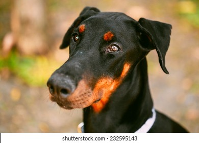 Young, Beautiful, Black And Tan Doberman. Dobermann Is Breed Known For Being Intelligent, Alert, And Loyal Companion Dogs