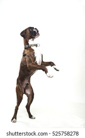 Young and beautiful boxer puppy, isolated over white background