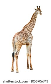 Young beautiful close up giraffe Africa animal isolate stand on white background in zoo with full cutout length.