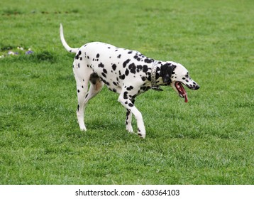 A young beautiful Dalmatian dog on the grass in city park