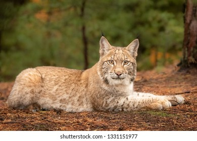 Young and beautiful Eurasian Lynx cub in forest. Dark autumn tones and lack of light. Beautiful natural shot in original and natural location. Cute cub yet dangerous and endangered predator.