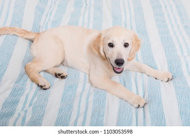 young and beautiful Golden Retriever in bedroom