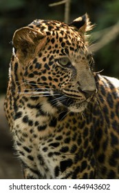 young beautiful leopard in the park