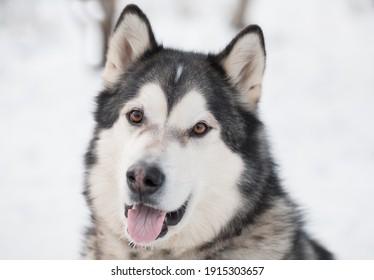 Young beautiful smiling alaskan malamute dog in snow. winter .