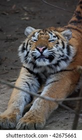 Young beautiful tiger stretches one self