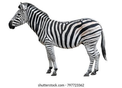 Young beautiful zebra isolated on white background. Zebra close up. Zebra cutout full length. Zoo animals.