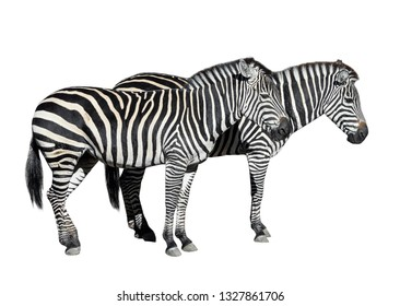 Young beautiful zebras isolated on white background. Two Zebras close up. Zebra cutout full length. Zoo animals.