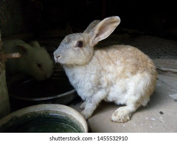 Young beauty brown-white rabbit eats water from a tray in the food hall in rural farm. Its mouth is wetting. Phrae Thailand.