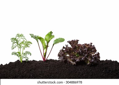 young beetroot carrot and lettuce vegetables in early growing stages - isolated on white