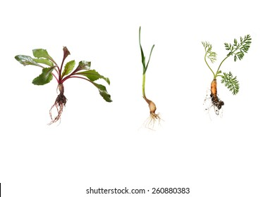 young beetroot, garlic, carrot in early growing stages - isolated on white