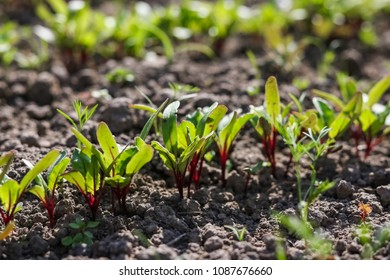 Young beetroot on the bed. Sugar beet in the garden.
