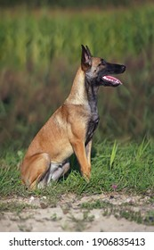 Young Belgian Shepherd dog Malinois posing outdoors sitting on a green grass in summer