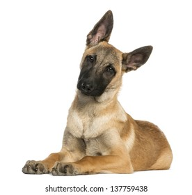 Young Belgian Shepherd lying down and staring, 5 months old, isolated on white