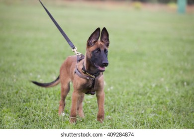 young Belgian shepherd on the grass