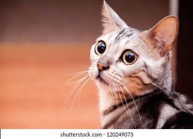 Young bengal cat