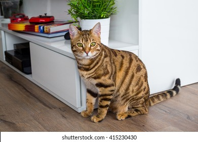 Young bengal cat hunting for toys in the apartment. Gorgeous cat with green eyes.