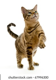 Young bengal cat or kitten clawing at the air while looking upwards towards some food