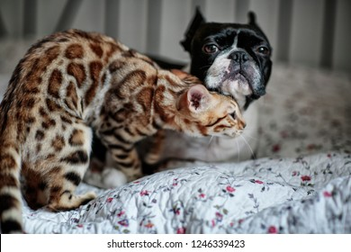 Young Bengal Cat kitten playing and sleeping with her Boston Terrier friend
