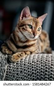 Young Bengal Cat Studio Portrait on wool blanket