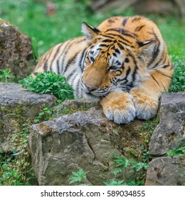 Young bengal tiger lying on the grass and shows his paws