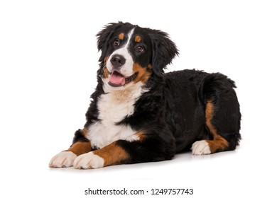 Young bernese mountain dog isolated on white background and looking up