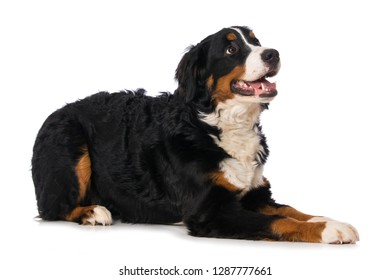 Young bernese mountain dog isolated on white background looking up