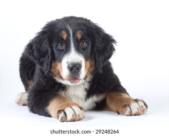 young bernese mountain dog isolated