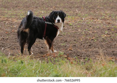 Young bernese mountain dog on a field. The word AZUBI on the harness means apprentice in German.