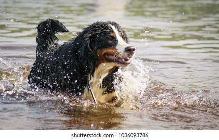 Young bernese mountain dog play in the watter. Dog action in the watter and around are splash. Dogs together.