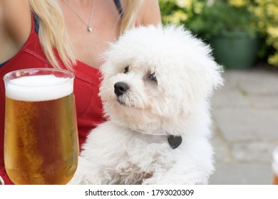 Young Bichon Frise Puppy with a Pint of Lager