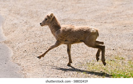 Young Big Horned Sheep Kid in Banff National Park Alberta Canada