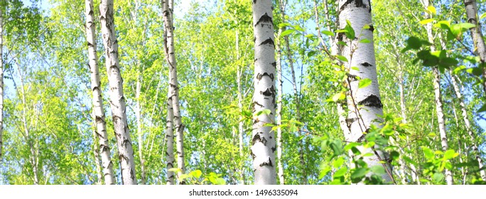Young birch with black and white birch bark in spring in birch grove against the background of other birches