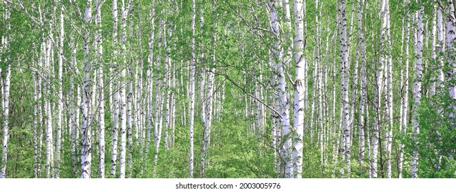 Young birch with black and white birch bark in summer in birch grove against background of other birches