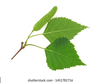 Young birch branch with buds and leaves isolated on a white background