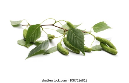 Young birch branch with green leaves and seeds isolated on white background