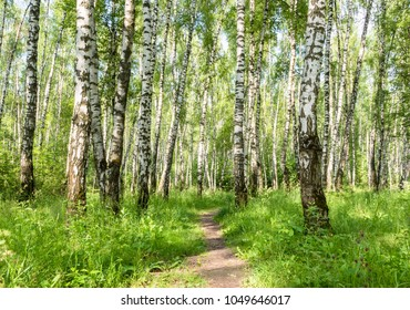 Young birch forest background with a trail. Young birch forest background with a trail. path in the green forest