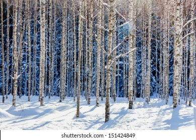 Young birch forest in winter in sunshine