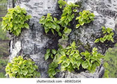 Young birch leaves grow on the trunk of a tree